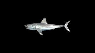 ●●Русская рыбалка 3.99•Полосатик Карликовый и Ламна●●