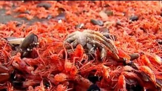 Thousands of crustaceans turn beach red