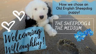 How We Chose An Old English Sheepdog! Welcoming Willoughby!