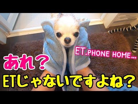 【チワワがETに!】風呂から出たらETになってしまった子犬チワワ【かわいい犬】【chihuahua】【cute dog】【ペット動画】