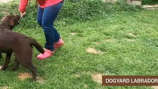 Лабрадор DOGYARD VERONA