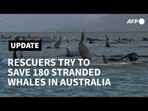 Rescue Under Way To Save 180 Stranded Whales In Australia | AFP