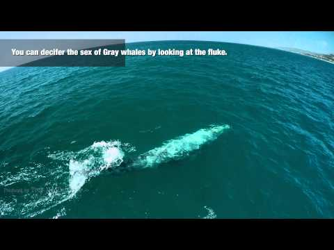 4k drone video of male gray whale migrating solo