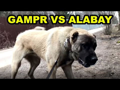 ГАМПР VS АЛАБАЙ   Реакция Армянского Волкодава на соседского Алабая