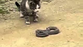 gato mata cobra a sangue frio luziania