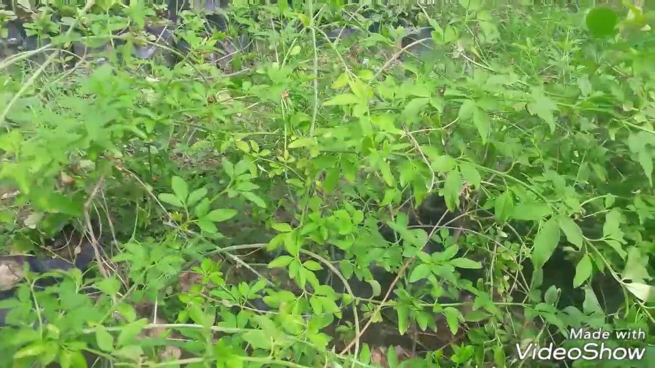 How To Care Chameli Jasmine Flower Plant Hindi Youtube