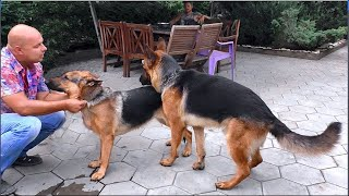 ПЕРВАЯ ЛЮБОВЬ РЭЯ. Немецкие овчарки Рэй и Дана. Male German Shepherd Dog Ray and his bride.