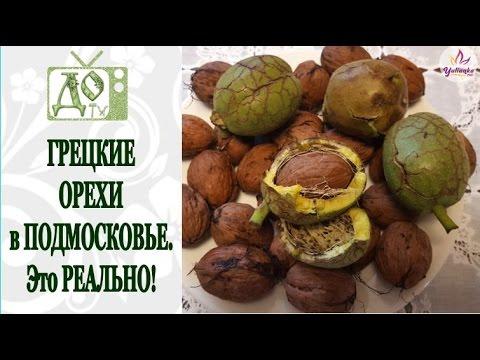 Почему горчат грецкие орехи? - Магия растений