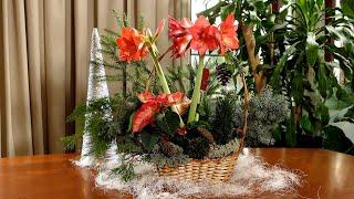 Amarylis, hippeastrum w świątecznej odsłonie