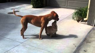 Pitbull Raises A Golden Retriever Puppy