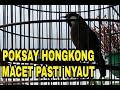 Poksay Hongkong Macet Bunyi Pasti Nyaut  Mp3 - Mp4 Download