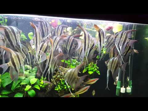 Altum Angle Fish Eating By Mr.Chinh HN