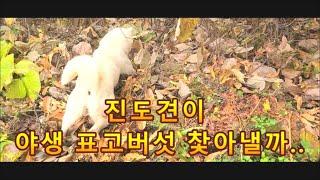[진돗개(해탈이)와 야생 표고버섯  따러가기]# 자연산…