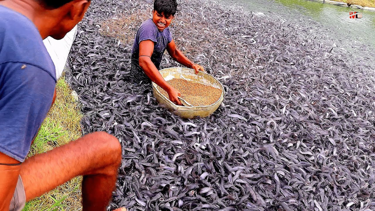 Download Impact of Pelleted Feeds on the health of commercially important Hybrid Catfish in ponds