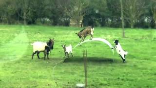 Funny baby Goats jumping Videos 2015