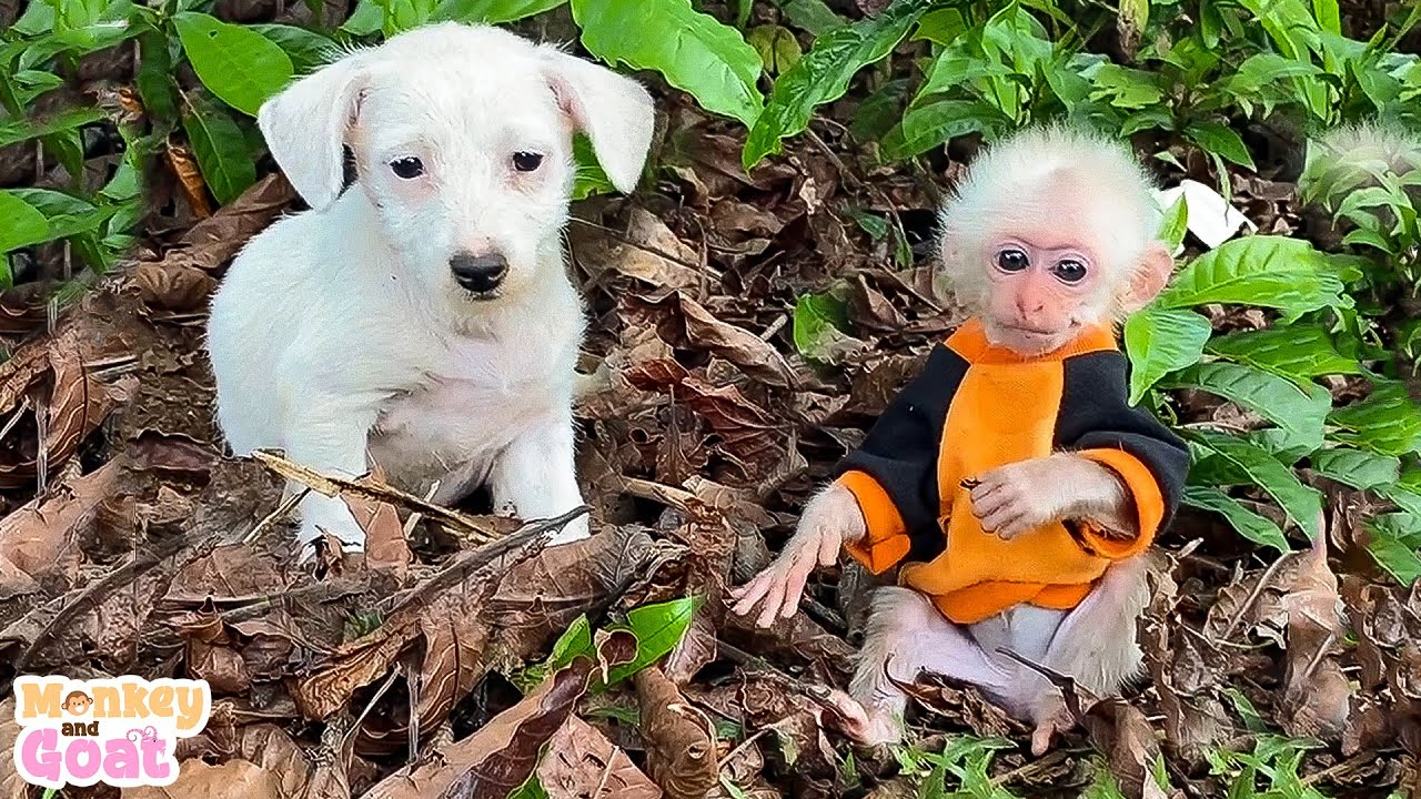 Cute and funny moment of baby monkey with white dog