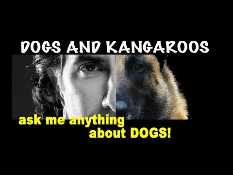 Kangaroos Tempting Prey Drive - Dog Training Video