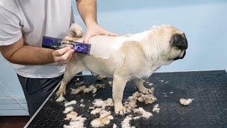 Shaving A Pug Whole Process