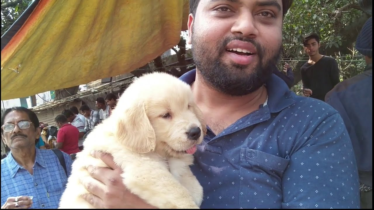 Best Quality Golden Retriever Lab & More Puppies For Sale At Kolkata With Mob No