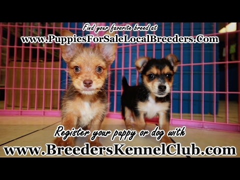 CHORKIE PUPPIES FOR SALE GEORGIA LOCAL BREEDERS