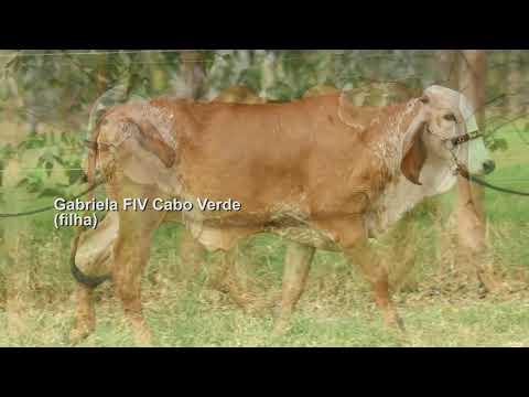 LOTE 11 – VINCENZA FIV CABO VERDE JCVL1499