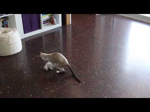 Cornish Rex loves playing with that big  mouse!!!