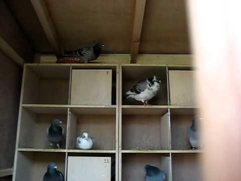 Racing Pigeons Ireland April 2011