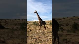 Lepsza niż modelka na wybiegu - Masai Mara National Reserve - Kenia- Afryka