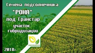 Гранстароустойчивые семена подсолнечник РОНА. Участок гибридизации 2018.