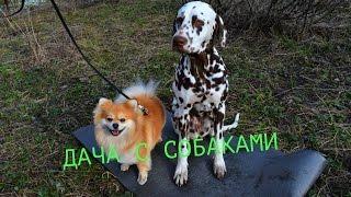 Дача с собаками/ Первая прогулка Синди /Рюкзак на дачу