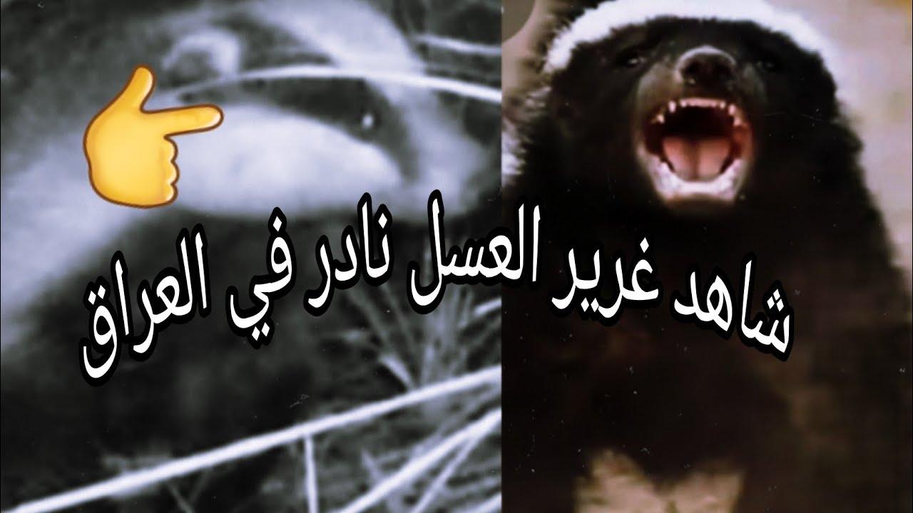 شاهد تصوير ليلي نادر لحيوان غرير العسل في الطبيعة