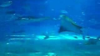One of the Largest Aquariums in the world - Churaumi - Okinawa