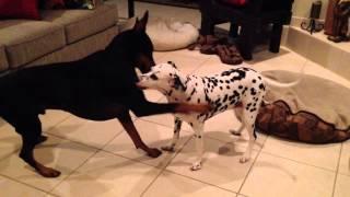 Dalmatian Fends Off Doberman