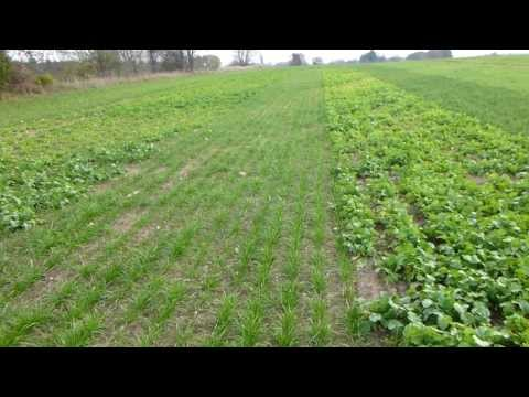 Cover Crops Used Successfully In The Upper Midwest