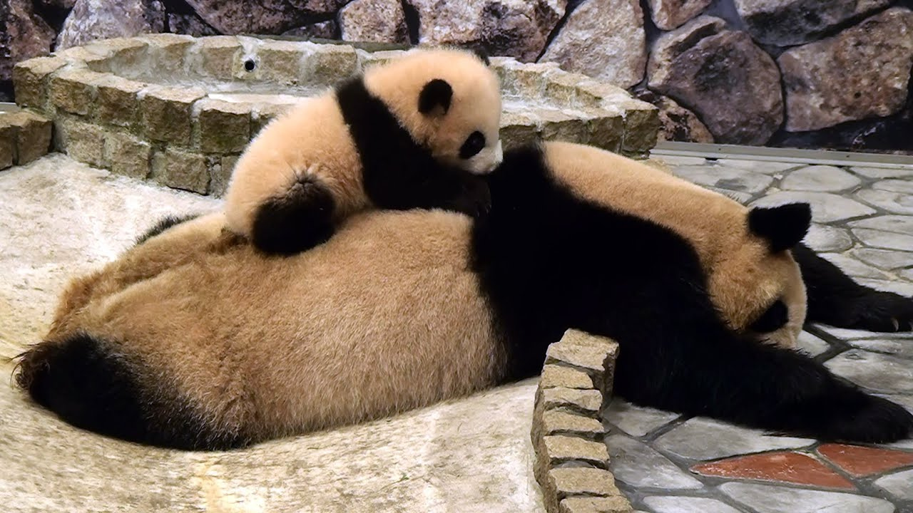 Cute Baby And Mother Wallpaper Panda Baby On Her Mom パンダ 優浜 良浜を登る アドベンチャーワールド Youtube