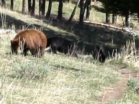Yellowstone Bears - 2009 05 18 - Mammoth Beaver Ponds Loop Trail Black Bears Video2