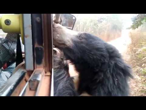 This Wild Asian Bear is very friendly, Eats food from human