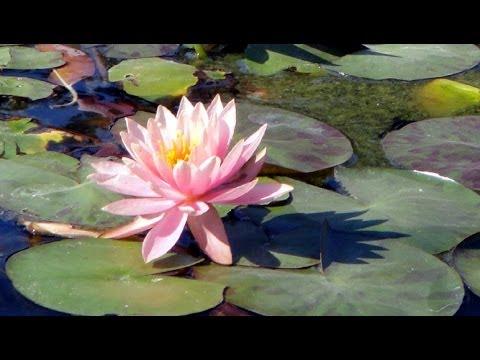 Lotuses, water lilies. Beautiful Nelumbo Nucifera flowers