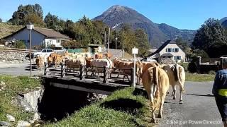 Transhumance vallée d'Ossau 2016 -Descente Ibech-
