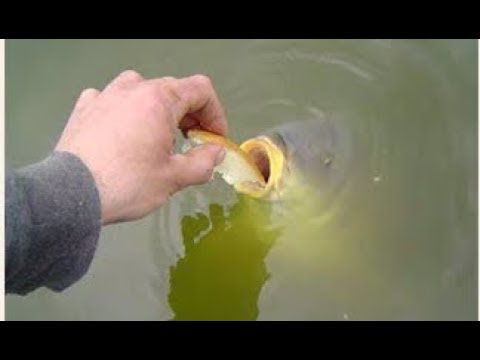 Feeding Bread To Pond Fish