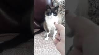 Дресеровка кота Барсика.