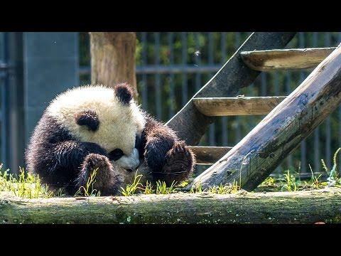 ADORABLE BABY PANDAS ROLLING