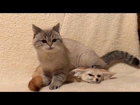 Fennec Fox And Cat Are Best Of Friends
