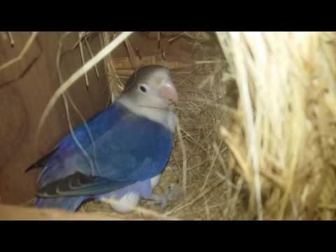 Animal Kingdom Overview  Budgies parrotsLove birds  information in hindiurdu July 2017