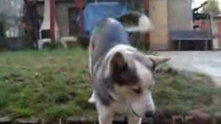Siberian Husky Mixed With Retriever