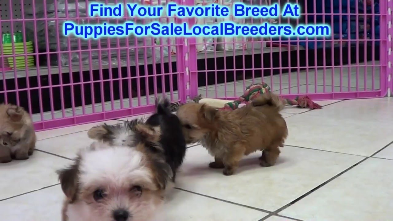 Morkie puppies for sale craigslist 2019 2020 top car - Craigslist farm and garden austin texas ...