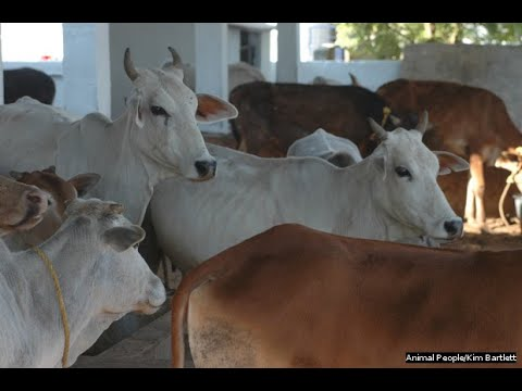 31 07 2013 live phone in on management of diseases of cattle in rainy season
