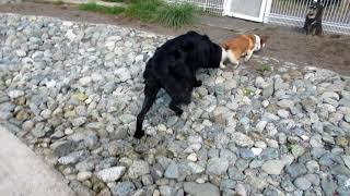 ニューファンドランドのウズメとオールドイングリッシュシープドッグの...
