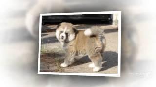 Большая японская собака порода собак