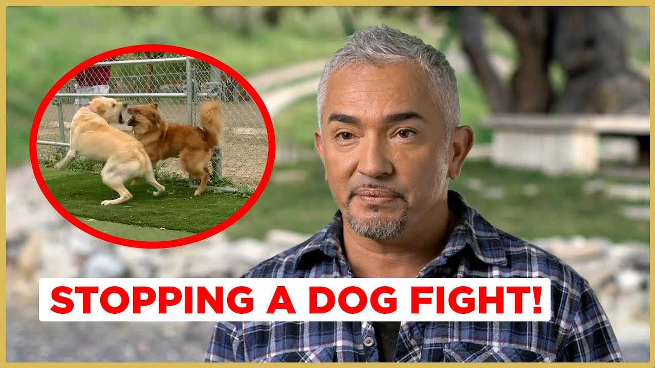 STOPPING A DOG FIGHT (Cesar911 Shorts)